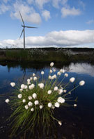 Image:  Cotton grass with wind turbine in background